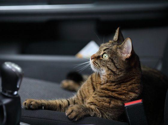 Jak podróżować z kotem